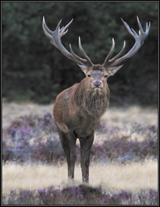 Edelhert/Red deer