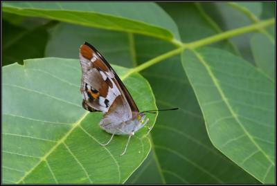 Grote Weerschijnvlinder/Purple Emperor