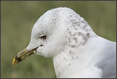 Stormmeeuw/Mew Gull