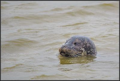 Gewone Zeehond/Common Seal