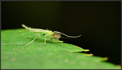 Groen dansmug/Chironomus sp.