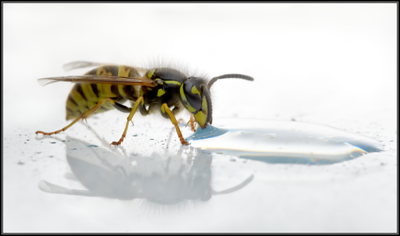 Gewone Wesp/Common Wasp