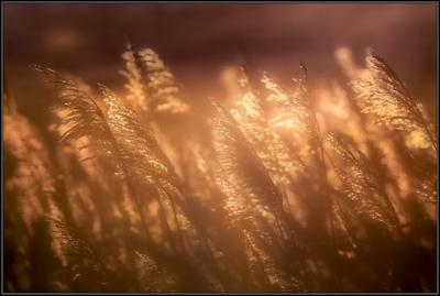 Rietpluim/Reed plume