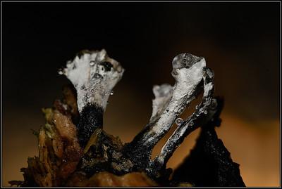 Geweizwam/Candlesnuff Fungus