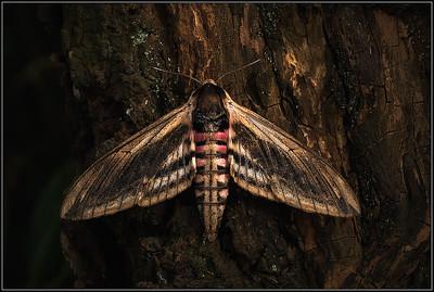Ligusterpijlstaart/Privet Hawk-moth