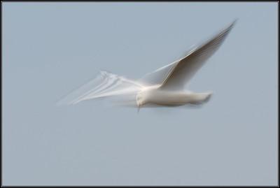 Kokmeeuw/Black-headed gull