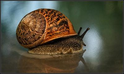 Segrijnslak/Garden Snail