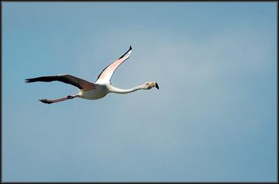 Flamingo/Greater Flamingo