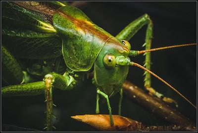 Grote Groene Sabelsprinkhaan /Great Green Bush-Cricket