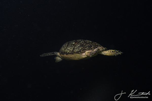 A Sea Turtle in the Blackness of Night