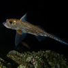 Ratfish at Renate Reef.