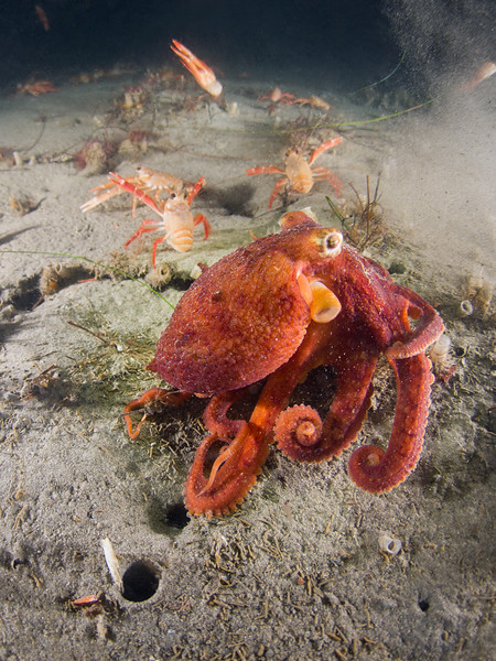 A two spot octopus matches its tuna crab neighbors at La Jolla Shores.