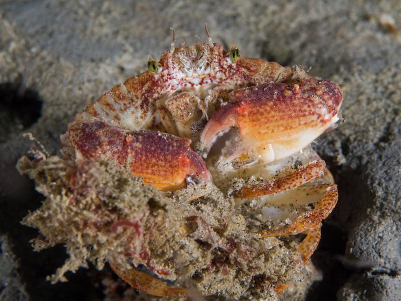 Juvenile graceful rock crab at La Jolla Shores.