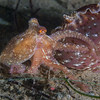 Red octopus butts up against a sea hare by Secret Garden.