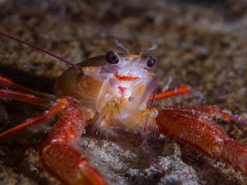 Pelagic red crab settled in by Secret Garden.