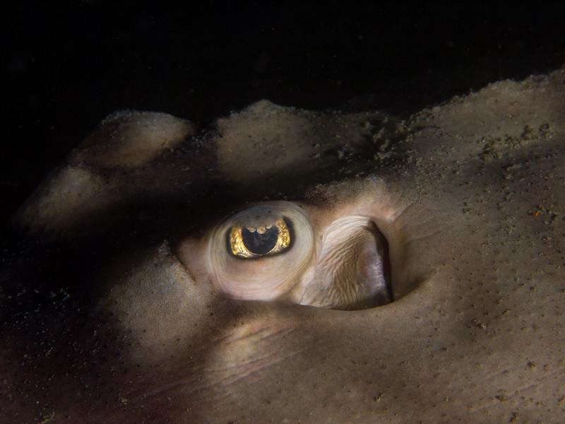 Eye of a banded guitarfish at Secret Garden.