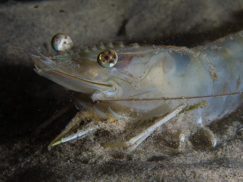 Brown shrimp sifting sand at Secret Garden.