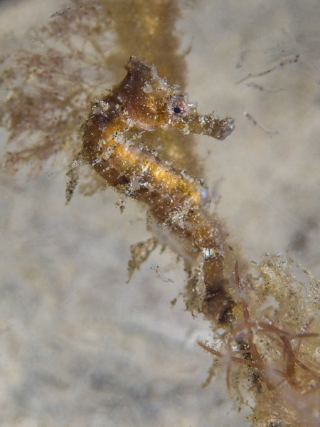 Juvenile Pacific seahorse above Secret Garden.