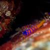 Bluebanded goby at Sea Fan Grotto, Catalina Island.