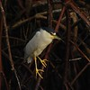 Black-corwned Night Heron