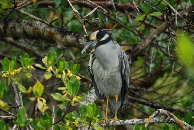 A Yellow-crowned Night Heron