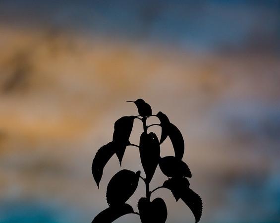 Humming Bird At Sunset