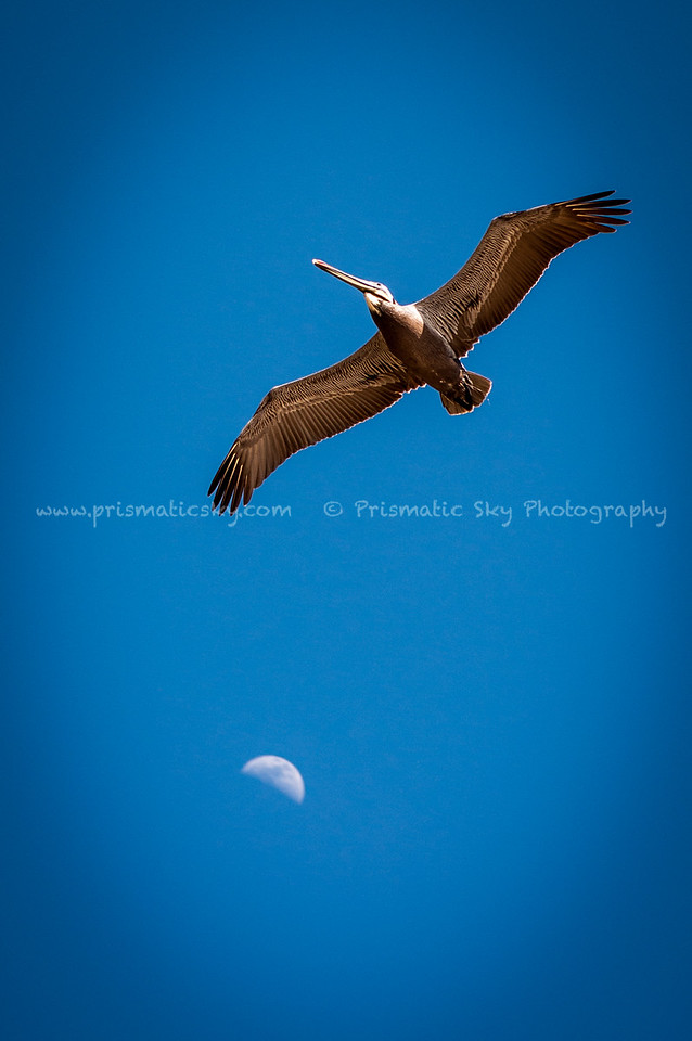 Pelican and the moon