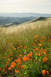 Poppies on Mt. Diablo