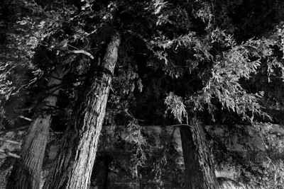 Redwood trees at night
