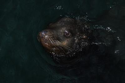 Sea Lion at Night