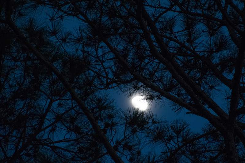 Moon and pines
