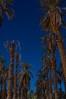 Date Palms at Furnace Creek Ranch in Death Valley NP.