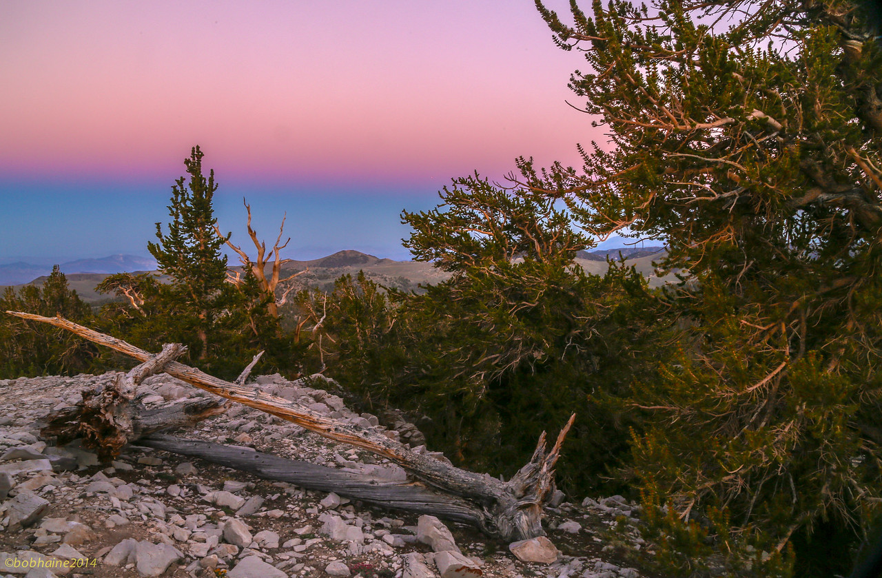 Bristlecone Forest at Dusk
