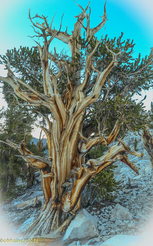 Bristlecone Pine, White Mountains