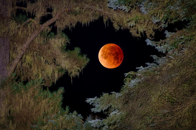 Super Blue Blood Moon thru the Pines, Sea Ranch, California