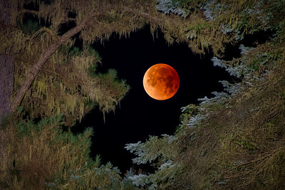 Super Blue Blood Moon thru the Pines, Sea Ranch, California