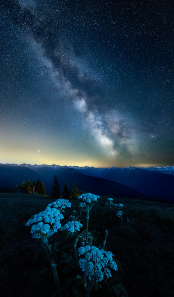 The Milky Way with wildflowers over the Olympic Mountains at Hurricane Ridge, Olympic National Park, Washington State