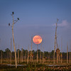 December 13, 2016 Supermoon rising, Babcock Wildlife Management Area, Punta Gorda, Florida