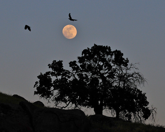 """Black Birds Flying Overhead"". The Eve of the Supermoon. 5/4/12"