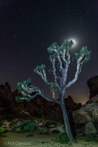 Joshua Tree backlit by the moon in Joshua Tree NP.