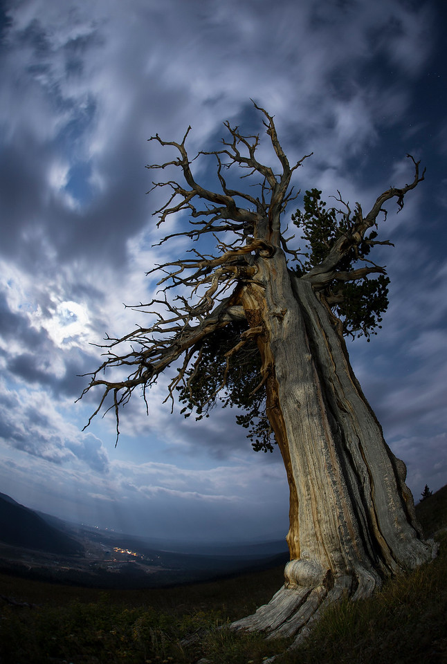 Full moon at midnight over Windy Ridge, Alma, CO.   Bristlecone Pine (approx. 800 years old)