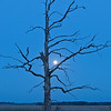 MNGN-10059: Old tree and full moon