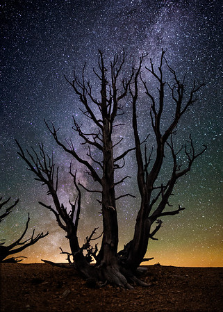 Ancient Bristlecone Pines 3