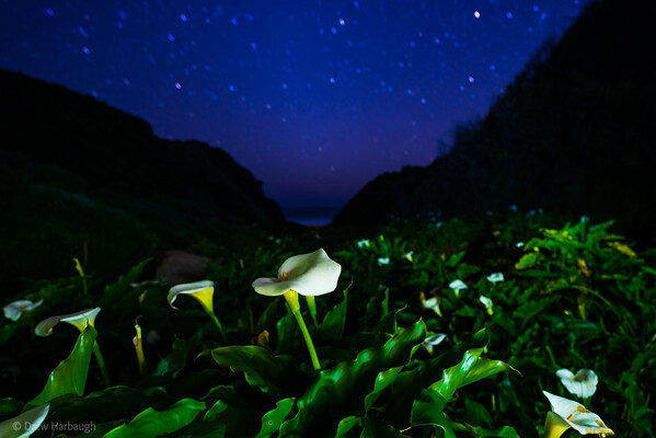 Illumination in Calla Lily Valley