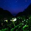 Illumination in Calla Lily Valley