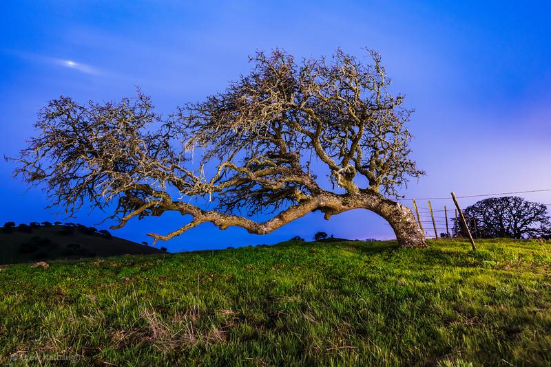 Windblown Oak in the Blue Hour