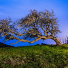 Windblown Oak in the Blue Hour