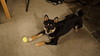 Nikko - My Shiba Inu - With Tennis Ball