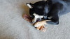Nikko - My Shiba Inu - With Squirrel Toy - 2