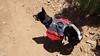 Nikko - My Shiba Inu - With Backpack- 5